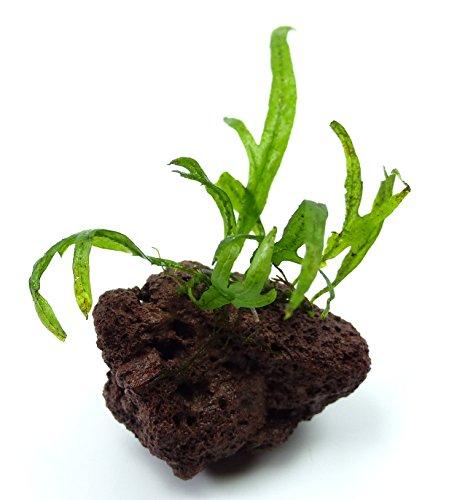 Aquarium Wasser und Feucht-Terrarium Pflanze Microsorum pteropus Trident Ableger auf Lavastein