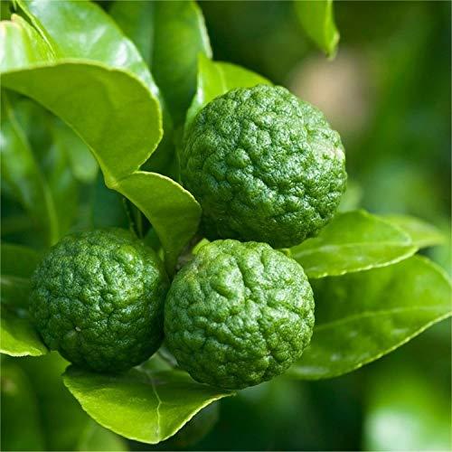 Kaffir Lime Tree Plant - Citrus Hystrix