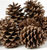 24 Ponderosa Pine Cone Natural 3'- 5' Hand Selected All Natural Premium Quality Cones Decorative Home Decor Bowl Displays Crafting UNSCENTED