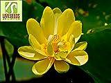 Liveseeds - ciotola di loto / giglio di acqua di fiori / bonsai Lotus / stagni / 5 semi freschi / Trollius Asiaticus / Giallo Coltivare Difficoltà Grado: Molto Facile Uso: Indoor / Outdoor Tipo: Piante acquatiche Funzione: purificazione dell'aria