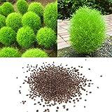 yanbirdfx Blumen Samen für Garten und Balkon-100 Stück Seltene Kochia Scoparia Grassamen Auffällig wachsen schnell exotische winterharte Pflanze