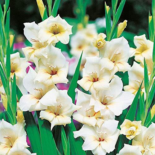 Garten blumen 5x Zwerg Gladiolenzwiebeln Gartenpflanzen winterhart mehrjährig Gladiolus Halley
