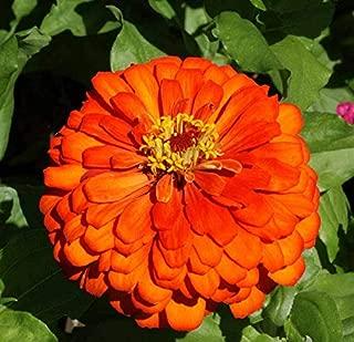 David's Garden Seeds Flower Zinnia Solid Color Orange King SL2839 (Orange) 500 Non-GMO, Heirloom Seeds