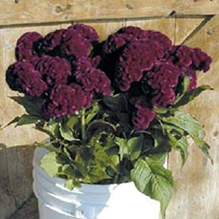 Seeds - 30+ Cramer's Burgundy Cockscomb Celosia Annual Flower Seeds - TricaStore