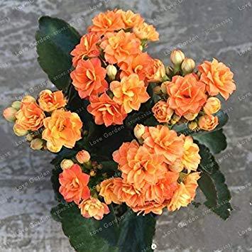 . Kalanchoe Longevity Flower Plantes en Pot Planter Saisons Plantes à Fleurs Plantes pour Jardin Facile à cultiver 100 PCS: 2