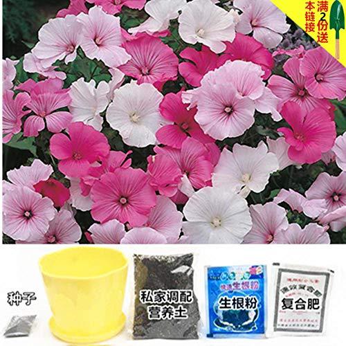 B/H pour Le Jardin Graines,Graines De Printemps Vivaces,Graine de Fleur Cosmos Morning Glory Sun Flower-G_Seed 100