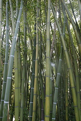 Bambus Bambusa, tropical, slightly hardy, 100 graines
