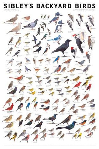 Sibley's Backyard Birds: Eastern North America