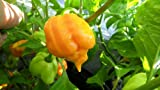 Trinidad Yellow Scorpion 6 Dried Peppers $4.99