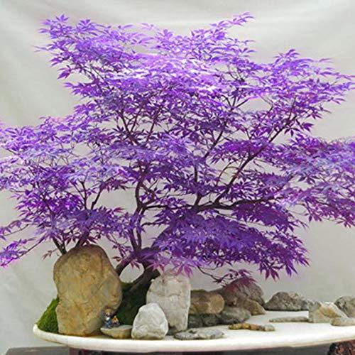 Semillas de árbol 30pcs/Bolsa Maple Tree Seeds Prolífico multiusos semilleros ornamentales de plantas perennes para césped - Semillas de árbol de arce púrpura