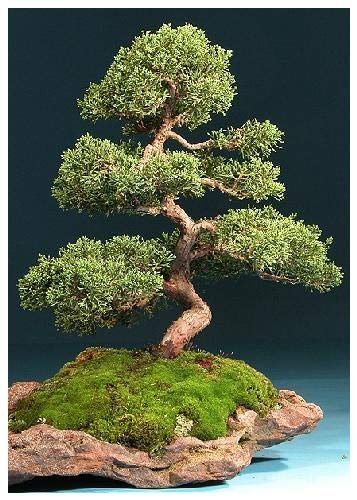 TROPICA - Genévrier chinois (Juniperus chinensis) - 15 graines- Bonsai