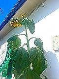 Immagine 2 girasole gigante martini 50 semi