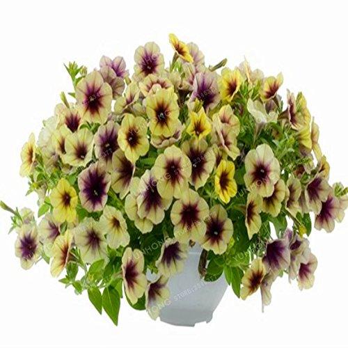 Escalade Pétunia Graines de fleurs Jardin Bonsai Balcon Petunia hybrida semences de fleurs de 20 espèces végétales Bonsai facile à cultiver 100 Pcs 16