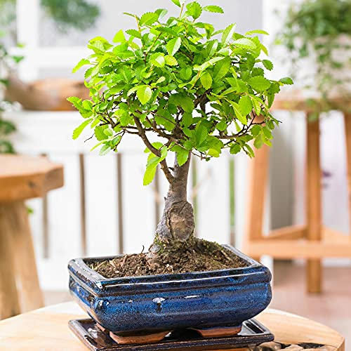 Zelkova serrata   Japanische Zelkove   Bonsai Baum inkl Ziertopf Keramik   Höhe 25-30cm   Topf-Ø 15x8cm