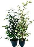 FICUS BENJAMIN VARIEGATO e VERDE, altezza 60cm, pianta vera