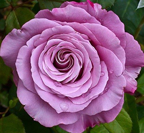 Graines Neptune Rose Fleur
