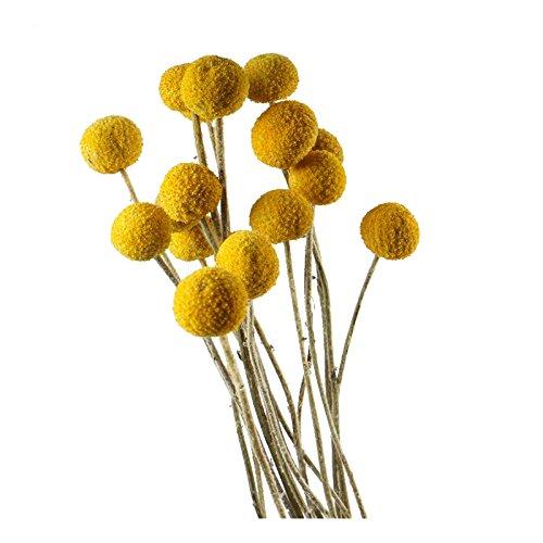 DongArts 30 Stiele/Pack, getrocknete Echte, natürliche Craspedia Blumen, Billy Button Bälle, 50 cm hoch