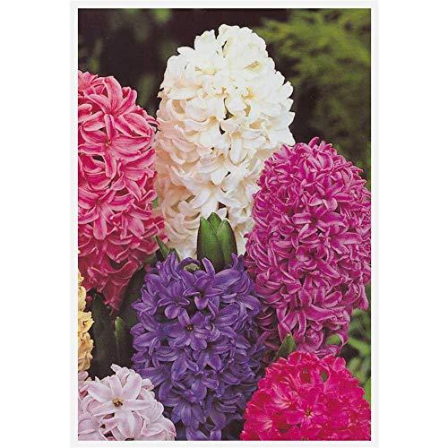 Hyazinthe, Hyacinthus orientalis Trio...