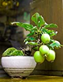 Guava Fruit Bonsai Tree Seeds - 20 Seeds to Grow - Exotic and Delicious Tropical Fruit. Great for Live Indoor Bonsai Tree - Fruit Seed for Sewing