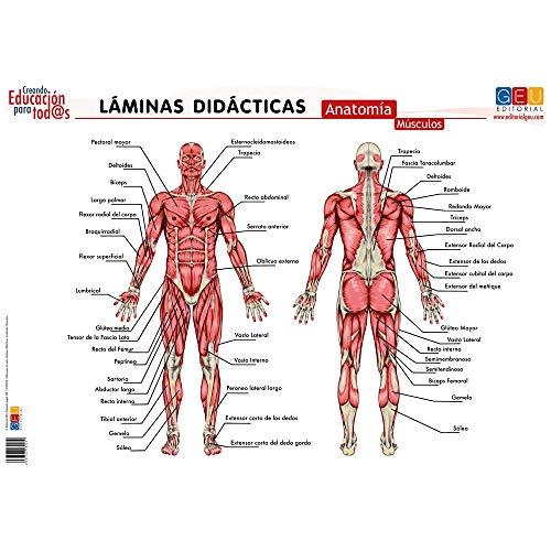 Láminas didácticas. Anatomía: Músculos (Material Escolar y Pedagogía)
