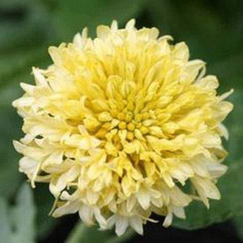 vegherb 50 Samen - Gaillardia Sundance Creme Blumensamen (Gaillardia Pulchella)
