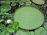 5 pezzi semi bonsai fiore vittoria amazzonica ninfea gigante loto garden Vendiamo semi non solo la pianta. Il prezzo include funzioni customes Seeds è il pacchetto completo. Trasporto che a livello internazionale