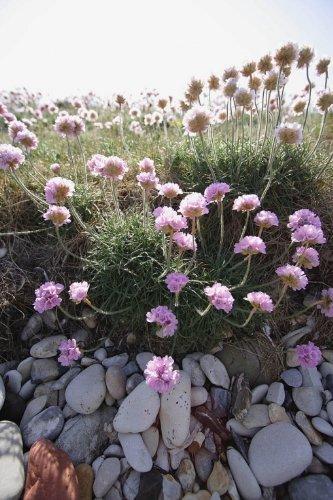 JustSeed Saatgut, britische Wildblume, Strand-Grasnelke/ Armeria maritima, für Steingärten, 60 Samen