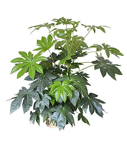 Zimmerpflanze für Wohnraum oder Büro – Japanische Aralie – Zimmeraralie