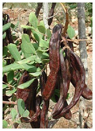 TROPICA - Caroube/caroubier (Ceratonia siliqua var. edulis) - 30 graines- Méditerranée