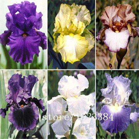 Livraison gratuite 100 graines Red Iris, graines vivaces de fleurs coupées idéales ou des plantes en pot pour le jardin de la maison, résistant à la chaleur