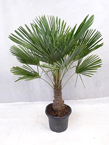[Palmenlager] - Trachycarpus fortunei - Winterharte Palme 150/160 cm - dicker Stamm 40/50 cm