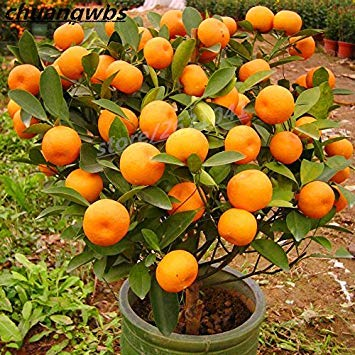 Fash Lady 20pcs / sac orange graines escalade orange arbre graine bonsaï bio fruits graines comme pot de Noël arbre pour la maison jardin plante