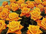 Wdsjxd Pintura por números Home Painting Set Amarillo Rosa Pintura al óleo Set Principiante con Pincel Home Dector Regalo Sin Marco 40X50cm