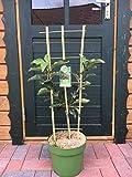 Rarität Säulenapfel U Form Spalier Apfelbaum Obstbaum Terrassenobst roter Säulenapfelbaum