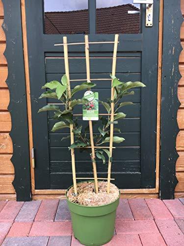 Rarität Säulenapfel U Form Spalier Apfelbaum Obstbaum Terrassenobst roter Säulenapfelbaum 80-120 cm hoch
