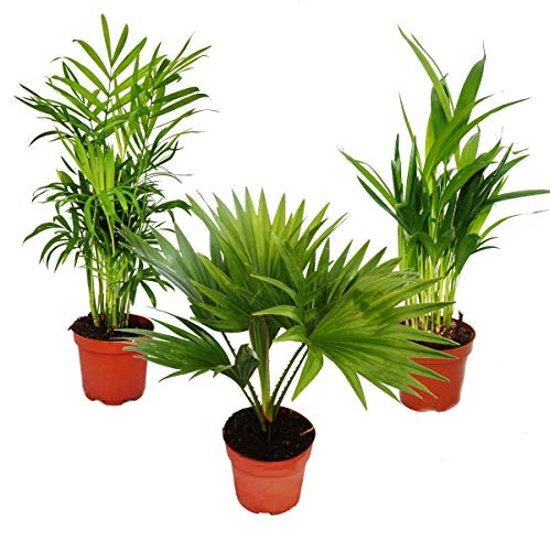 Zimmerpalmen - Set aus 3 verschiedenen Zimmerpalmen – Bergpalme (Chamaedorea) – Fächerpalme (Livistona) – Areca (Goldfruch-Palme)