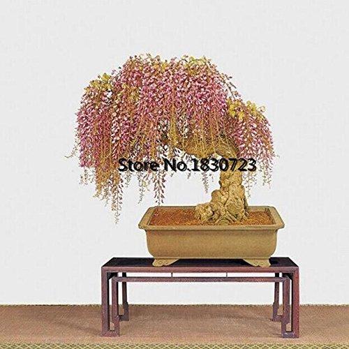 Graines 10PC Rare Or Mini Bonsai Wisteria Arbre Plantes ornementales d'intérieur