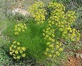 AGROBITS Graines (Foeniculum Fenouil vulgare) - * et utilisations * - Graines 200+