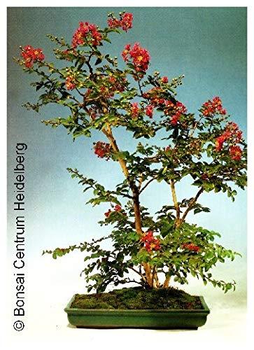 TROPICA - Lilas d'été (Lagerstroemia indica `violacea`) - 200 graines- Bonsai