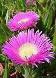 Tropica - Sukkulenten - Hottentottenfeige (Carpobrotus edulis) - 40 Samen -