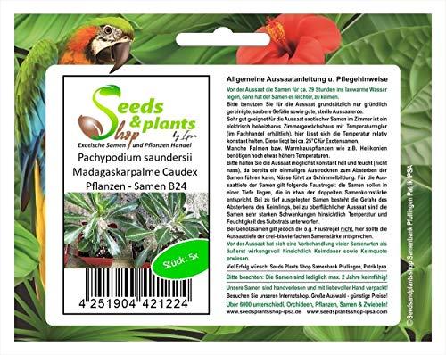 Stk - 5x Pachypodium saundersii Madagaskarpalme Caudex Pflanzen - Samen B24 - Seeds Plants Shop Samenbank Pfullingen Patrik Ipsa