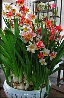 100pcs narciso de flores, semillas de narcisos (no bulbos de narcisos) semillas de flores bonsai planta plantas acuáticas dobles pétalos Narciso jardín 11