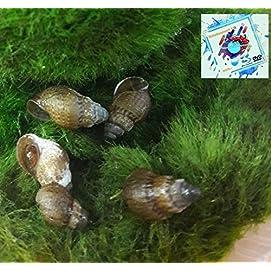 Mokka Turmdeckelschnecke - Melanoides tuberculata 10 Stk - Topbilliger Tiere