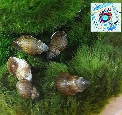 Topbilliger Tiere Mokka Turmdeckelschnecke 5X - Melanoides tuberculata