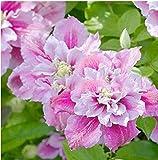 this life Semillas de Flores para macetas,Semilla de Hibisco-Flor de Hibisco_1000 cápsulas,Semillas de Flores Raras