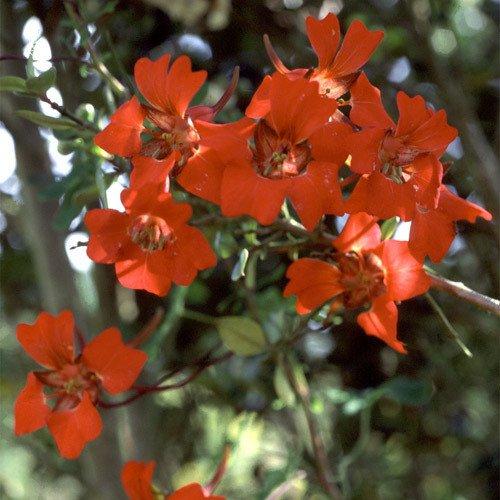 Plant World Seeds - Tropaeolum Speciosum Seeds