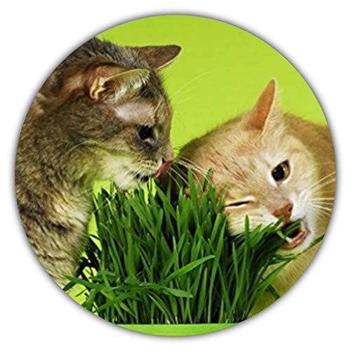 Semi di erba di gatto / 100 seme/Avena sativa/cibo per il gatto/ricco di vitamine e minerali