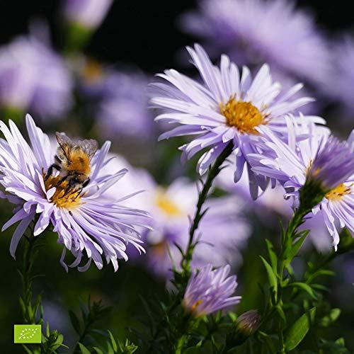 Aster ageratoides'Asran' | Herbstaster |...