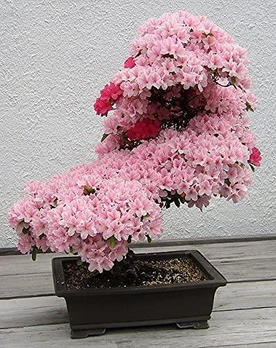 Bonsai Tree Japanese Sakura Seeds. Rare Japanese Cherry Blossoms Flowers Seeds in Bonsai,Pink Prunus Serrulata 100 Seeds/Pack