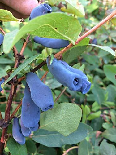 Gimolost 4 Pflanzen Sparset, Lonicera kamtschatica Honigbeere, Sibirische Blaubeere